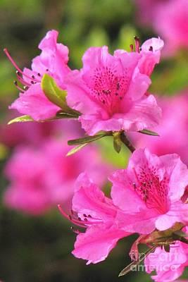 Photograph - Pink Azalea by Frank Townsley