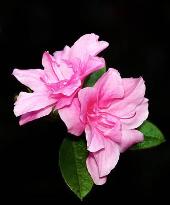 Photograph - Pink Azalea by Greg Reed