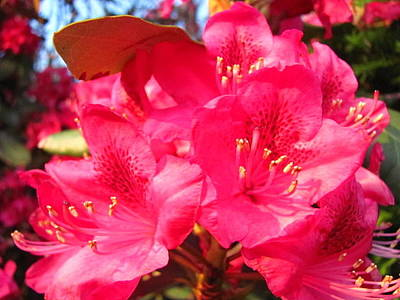 Rhodendron Photograph - Pink Rhody by Kit Labossiere