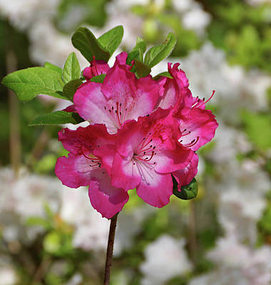 Print featuring the photograph Pink Azalea by Sandy Keeton