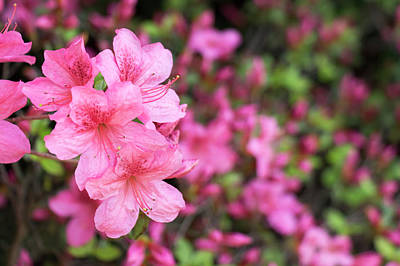 Photograph - Pink Azaleas 3 by Dawn Cavalieri