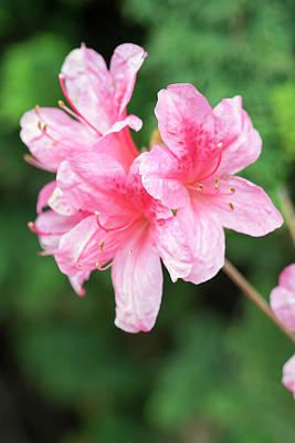 Photograph - Pink Azaleas by Dawn Cavalieri