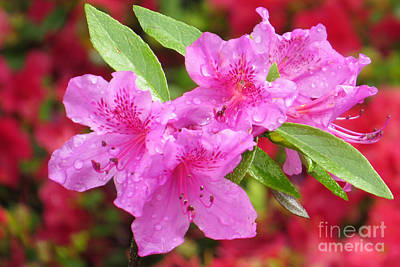 Photograph - Pink Azaleas by Frank Townsley