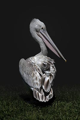 Photograph - Pink-backed Pelican Rear View by Debi Dalio