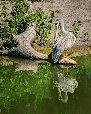 Pink-backed Pelican - Reflection Art Print by Nikolyn McDonald