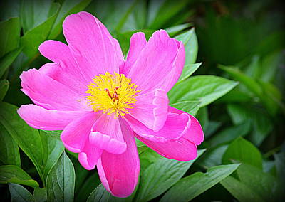 Photograph - Pink Beauty by AJ Schibig