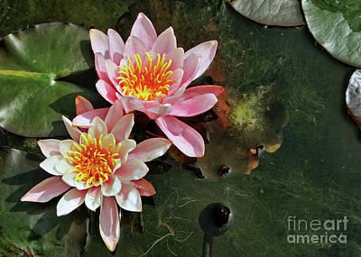 Photograph - Pink Beauty On A Murky Pond by Gabriele Pomykaj