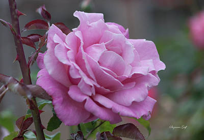 Photograph - Pink Beauty by Suzanne Gaff