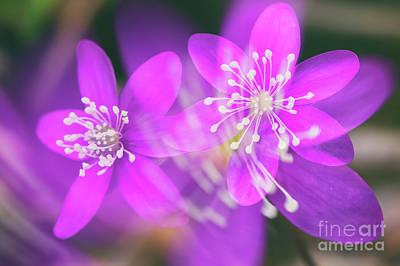 Anemone Photograph - Pink Beauty by Veikko Suikkanen