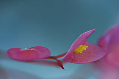 Photograph - Pink  Begonia by Carol Eade