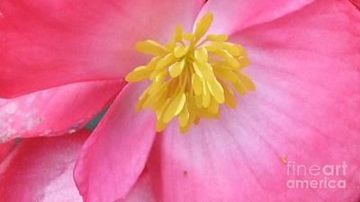 Pink Begonia Art Print by Deborah Brewer