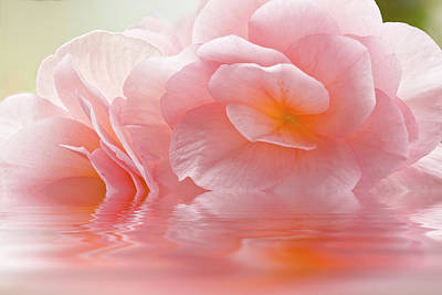 Photograph - Pink Begonia Macro Reflection 2 by Alex Saunders