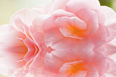 Photograph - Pink Begonia Reflection 1 Macro by Alex Saunders