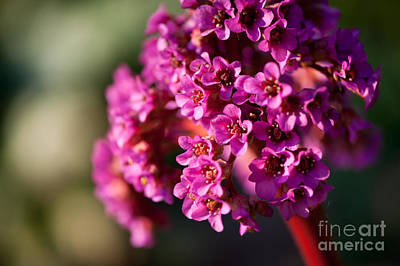 Popstar And Musician Paintings Royalty Free Images - Pink Bergenia flowering plant Royalty-Free Image by Arletta Cwalina