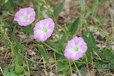 Photograph - Pink Bindweed by Ann E Robson