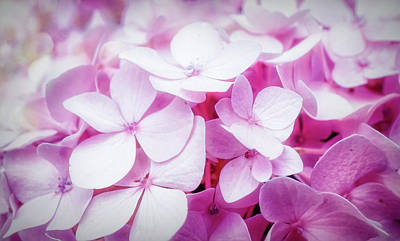 Photograph - Pink Bloom Of Hydrangea  by Lilia D