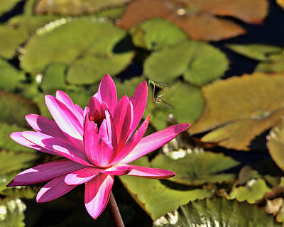 Photograph - Pink Blooming Water Lily by Judy Vincent