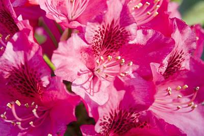 Pink Blooms Art Print by Steve Kenney