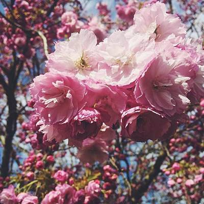 Warwickshire Photograph - #pink #blossom #blossoms #blossomtree by Emma Gillett