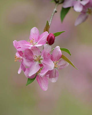 Photograph - Pink Blossoms by Ann Bridges