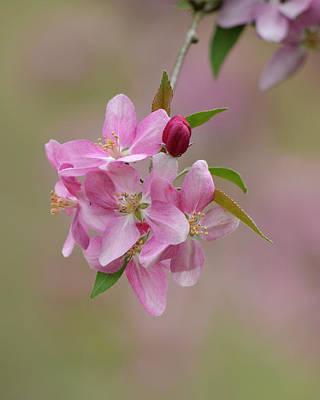 Photograph - Pink Blossoms by Ann Bridges