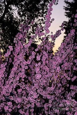 Pink Blossoms At Sunset By Kaye Menner Art Print by Kaye Menner