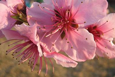 Pink Blossoms Art Print by Barbara Yearty