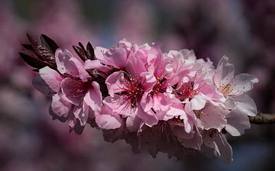 Cherry Blossoms Art Print by Denise McKay