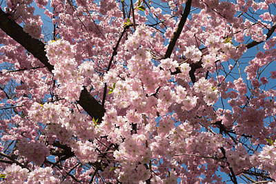 Photograph - Pink Blossoms In Front Of Blue Sky by Matthias Hauser