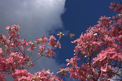 Photograph - Pink Blossoms In The Sky by Patricia Strand