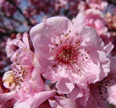 Pink Blossoms Art Print by Liz Vernand