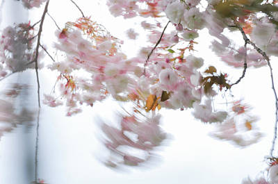 Photograph - Pink Blossoms Of A Ornamental Cherry Tree In Motion by Martin Stankewitz