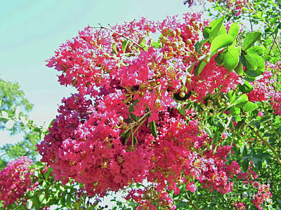 Photograph - Pink Blossoms On The Crepe Myrtle by D Hackett