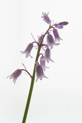 Photograph - Pink Bluebell Stem by Helen Northcott