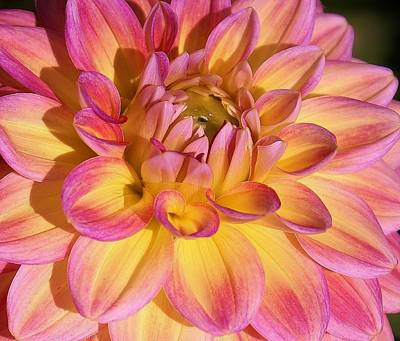 Photograph - Pink Blush Dahlia by Bruce Bley