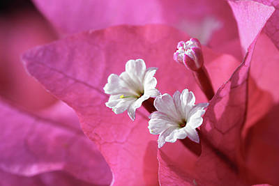 Modern Kitchen - Pink Bougainvillea 2 by Leigh Anne Meeks