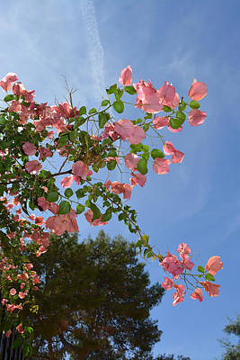 Photograph - Pink Bougainvillea by Aimee L Maher Photography and Art Visit ALMGallerydotcom