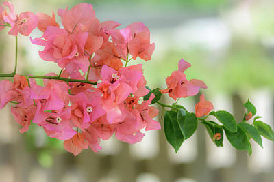 Photograph - Pink Bougainvillea by Debra Martz