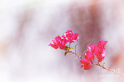 Pink Bougainvillea Flowers In Sunlight Art Print