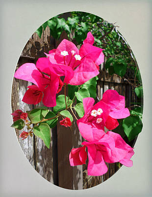 Photograph - Pink Bougainvillea by Ginny Schmidt