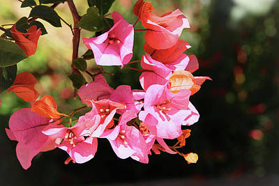 Floral Photograph - Pink Bougainvillia- Photograph By Linda Woods by Linda Woods