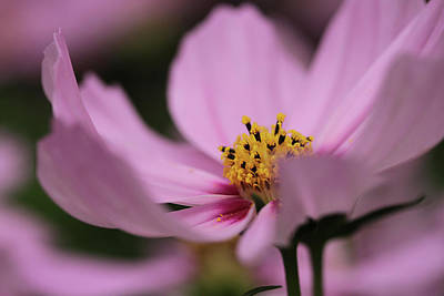 Photograph - Pink Breeze by Connie Handscomb