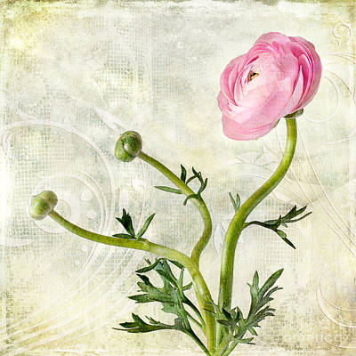 Photograph - Pink Buttercup by Barbara Corvino