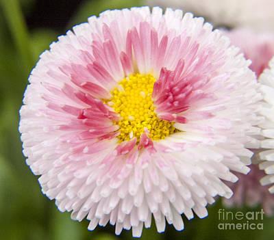 Pink Button Flower Art Print