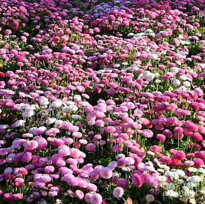 Pom Pom Photograph - Pink Button Pom Flowers by Carol Groenen