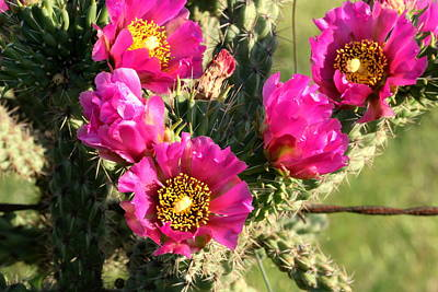 Photograph - Pink Cactus Blooms Close-up by Sheila Brown