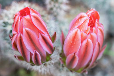 Photograph - Pink Cactus Flower Buds With Water Droplets On Petals by Barbara Rogers Nature Inspired Art Photography