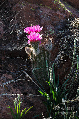 Photograph - Pink Cactus Flower by Richard Smith