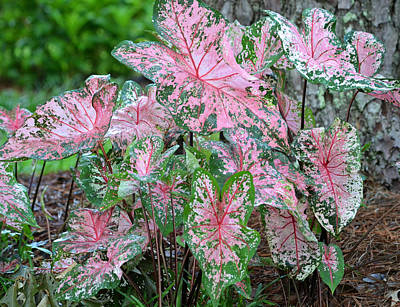 Photograph - Pink Caladiums by rd Erickson