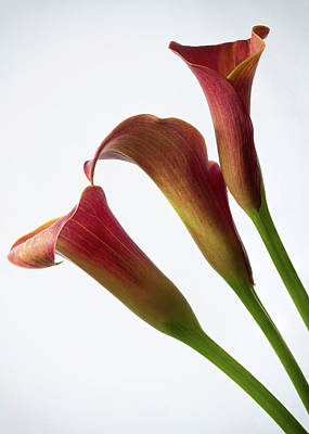 Photograph - Pink Calla Lilies 1 by Shirley Mitchell